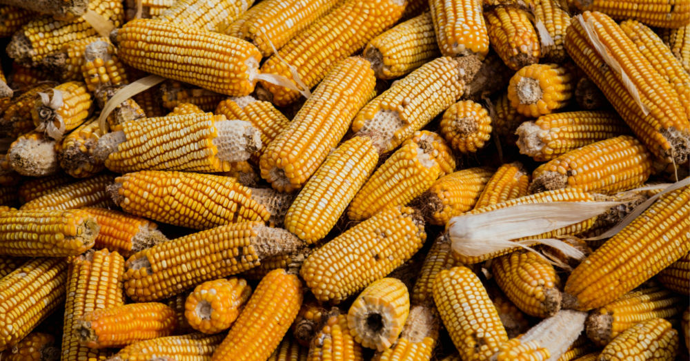 Imperfect, heirloom, colorful, natural varieties of corn and other produce are truly the best tasting AND best looking.