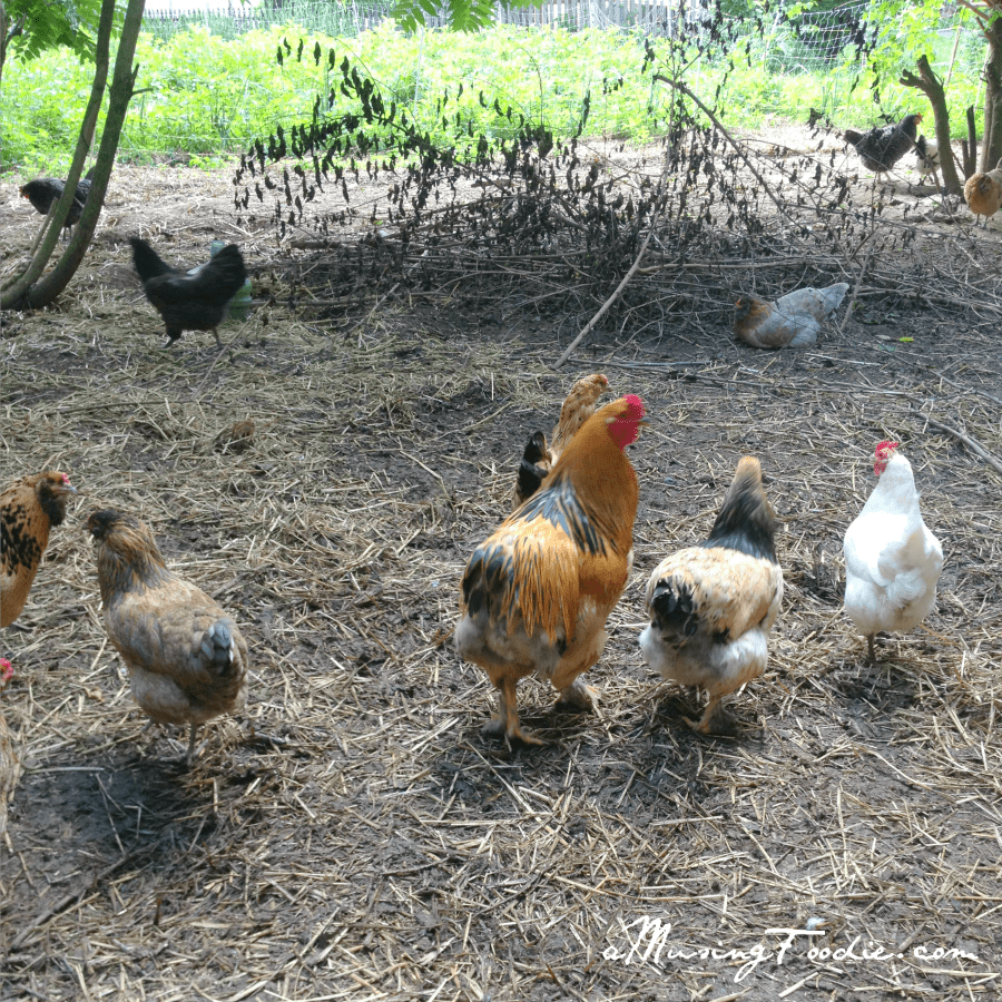 Chickens at the Farm