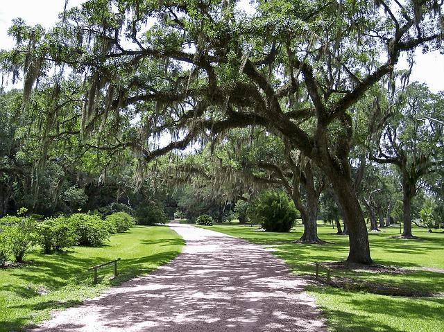 Spanish moss hanging from trees in Savannah, Ga.
