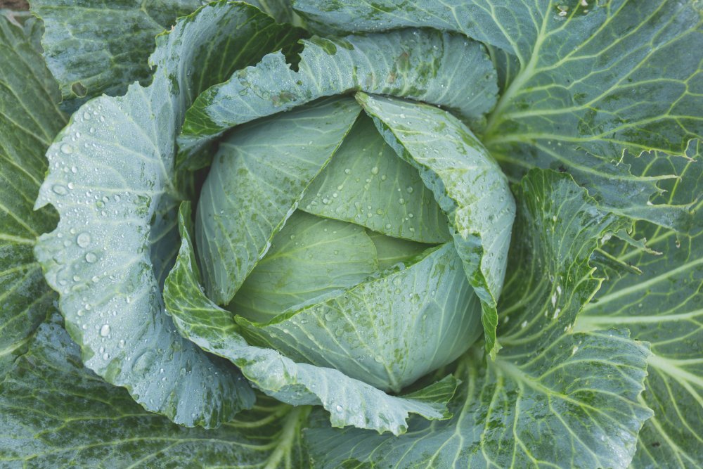 These New Year's recipes and foods, like cabbage, are sure to bring you good luck!